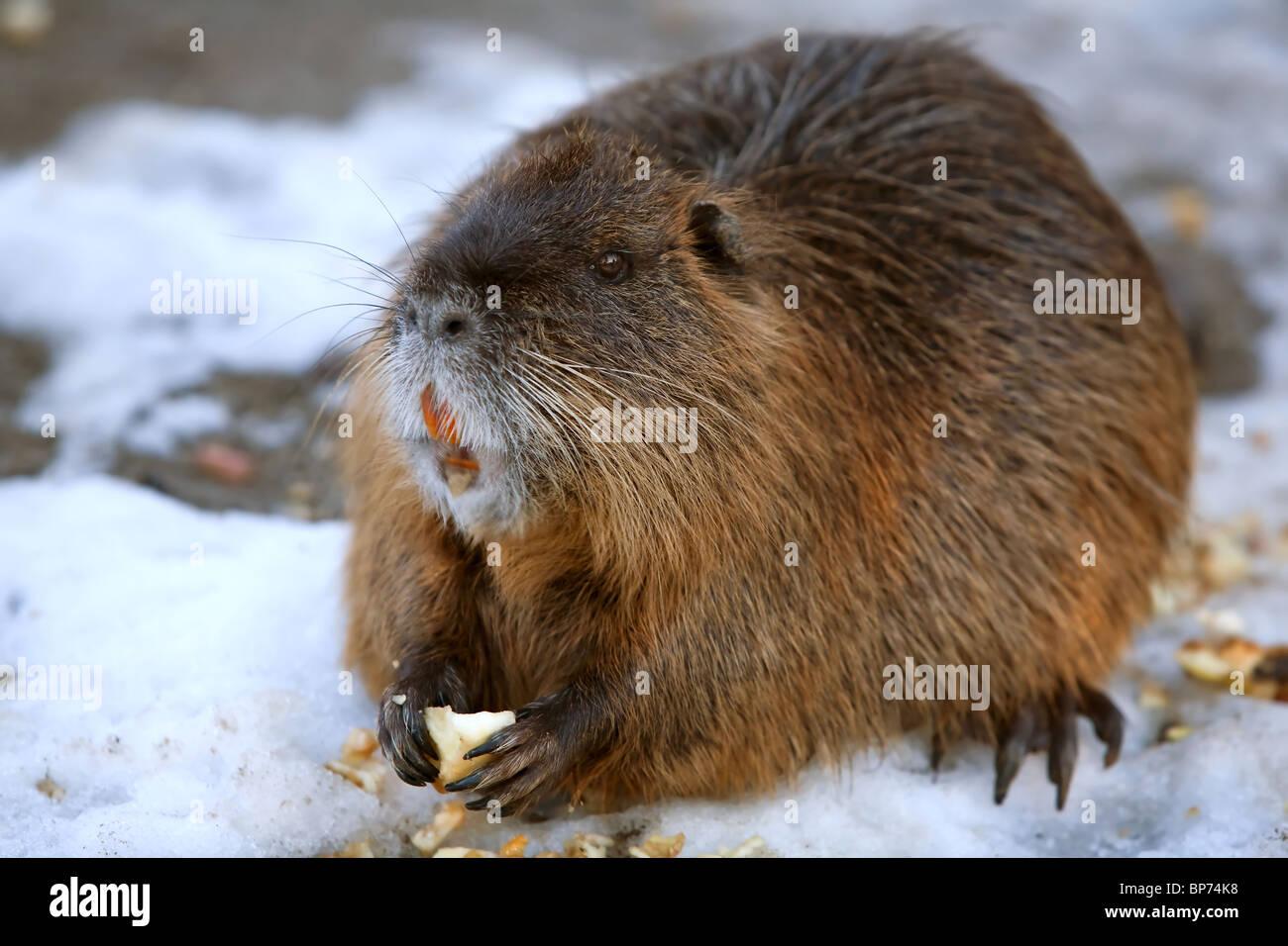 Mature beaver
