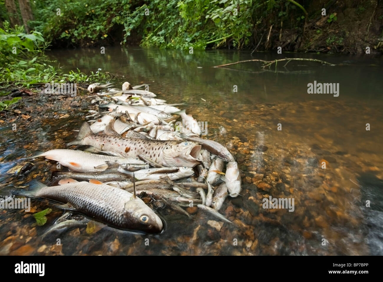 Freshwater fish england - Dead Fish On The Silchester Brook In Hampshire Uk Following The Pollution By Sewage Released