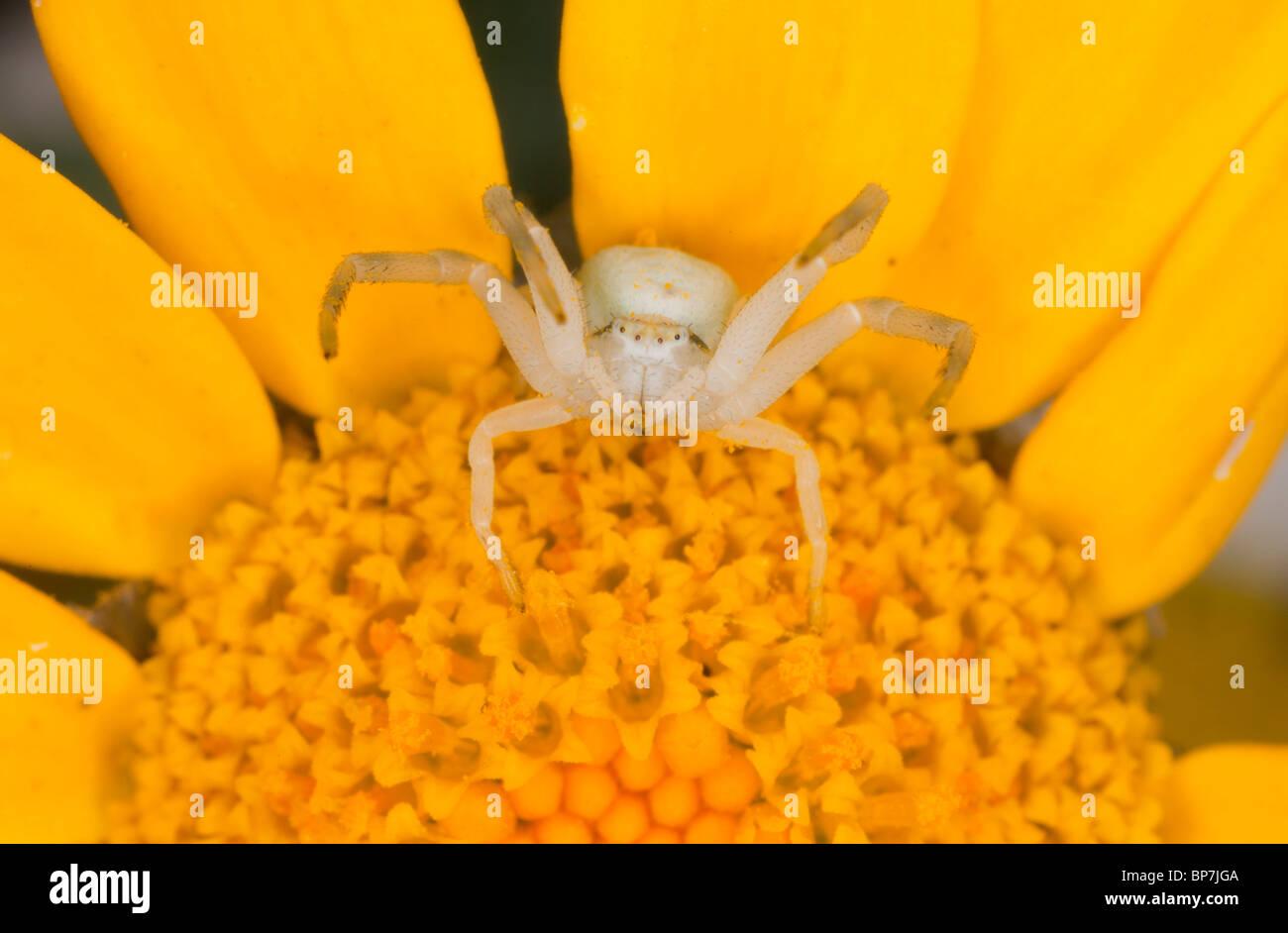 Crab spider preying bumble bee garden spiders spiders flower spiders - Crab Spider Or Flower Spider Misumena Vatia On Corn Marigold Flower Stock Image