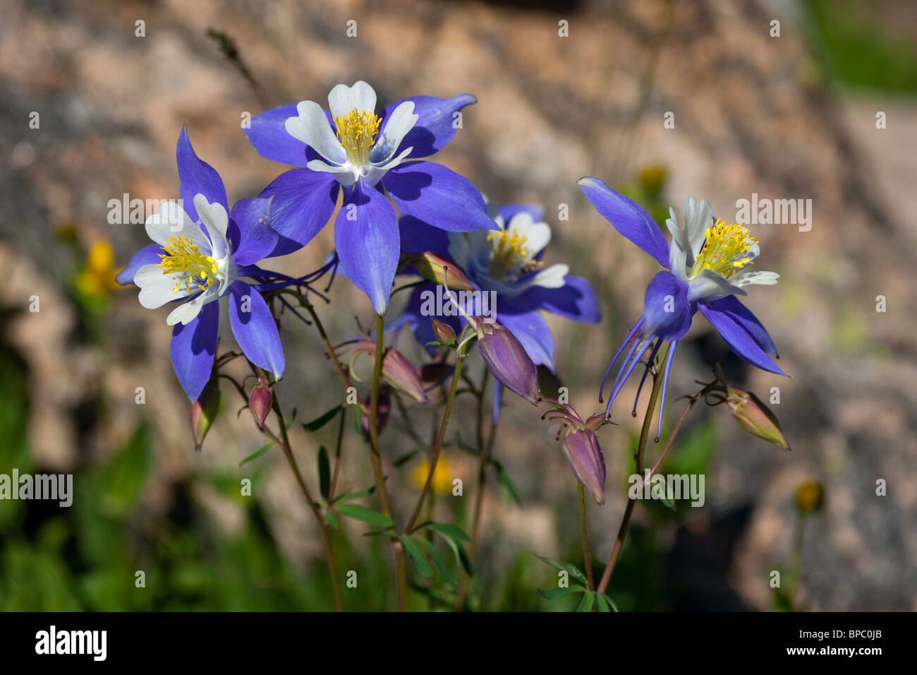 colorado state flower, vibrant blue columbine flowers next to the, Beautiful flower