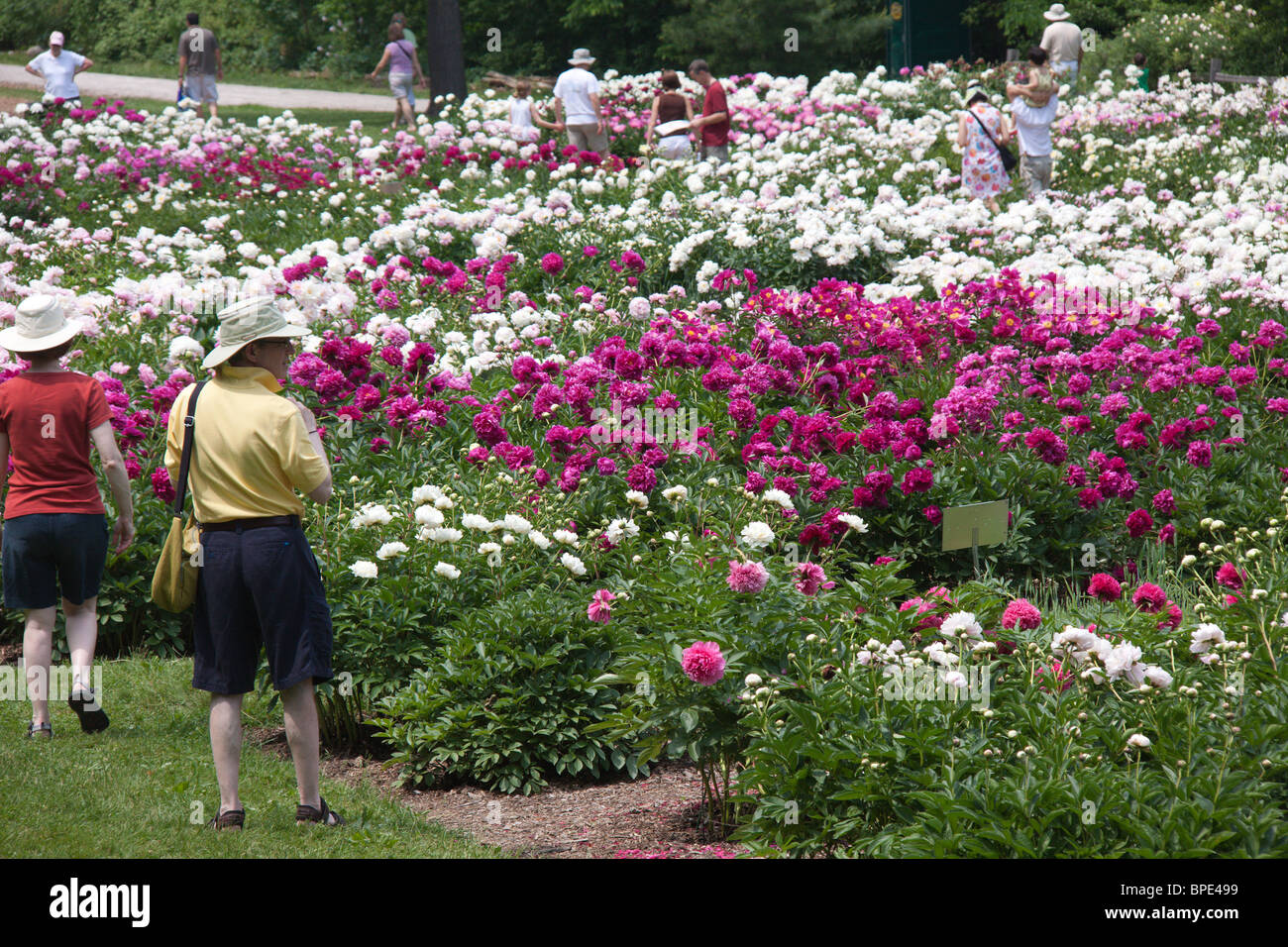 Peonies In Bloom At The Matthaie Botanical Garden And Nichols Arboretum,  University Of Michigan, Ann Arbor, Michigan, USA