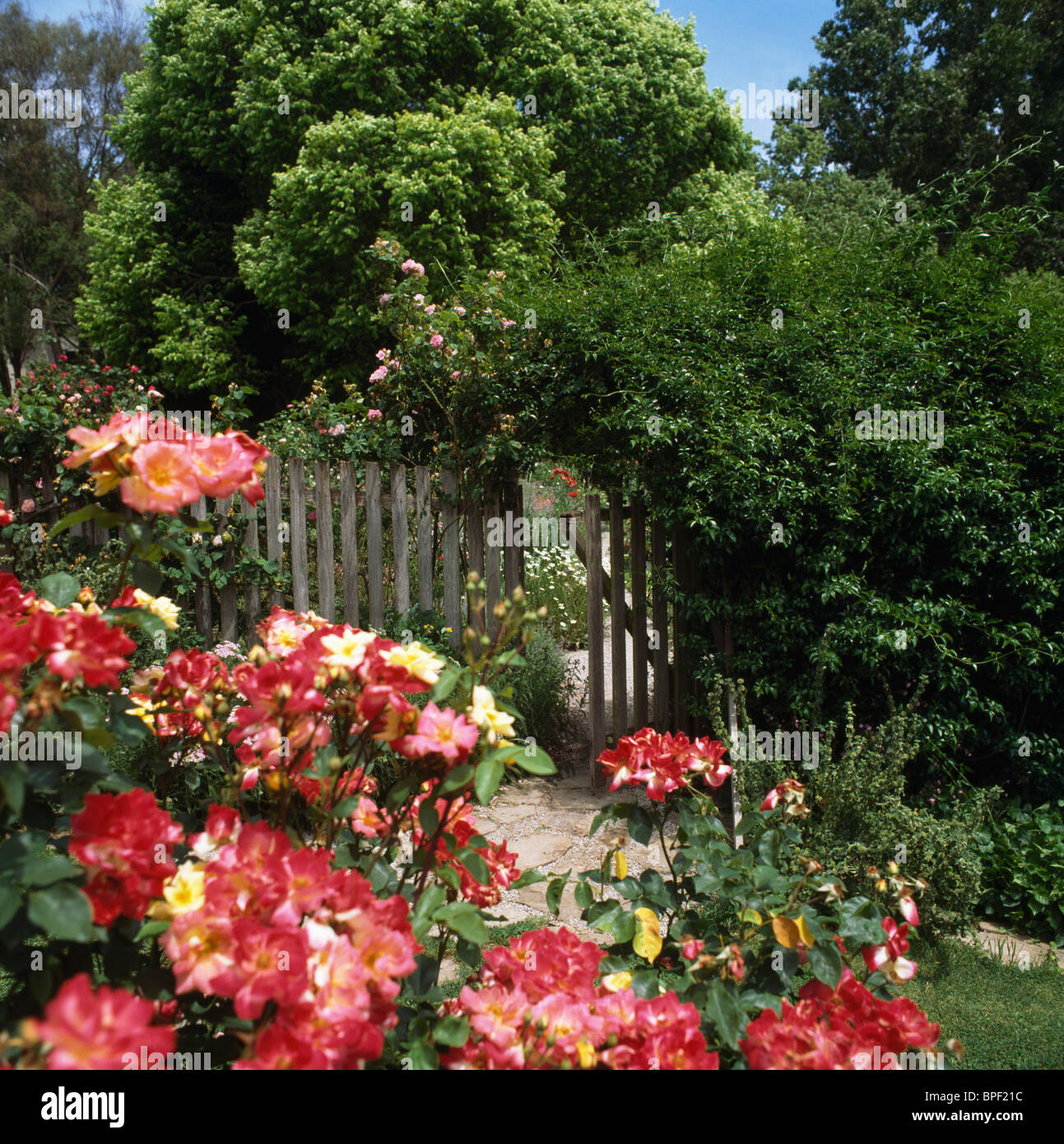 Red roses growing in border in sunny country garden with wooden red roses growing in border in sunny country garden with wooden picket fence and tall trees baanklon Choice Image