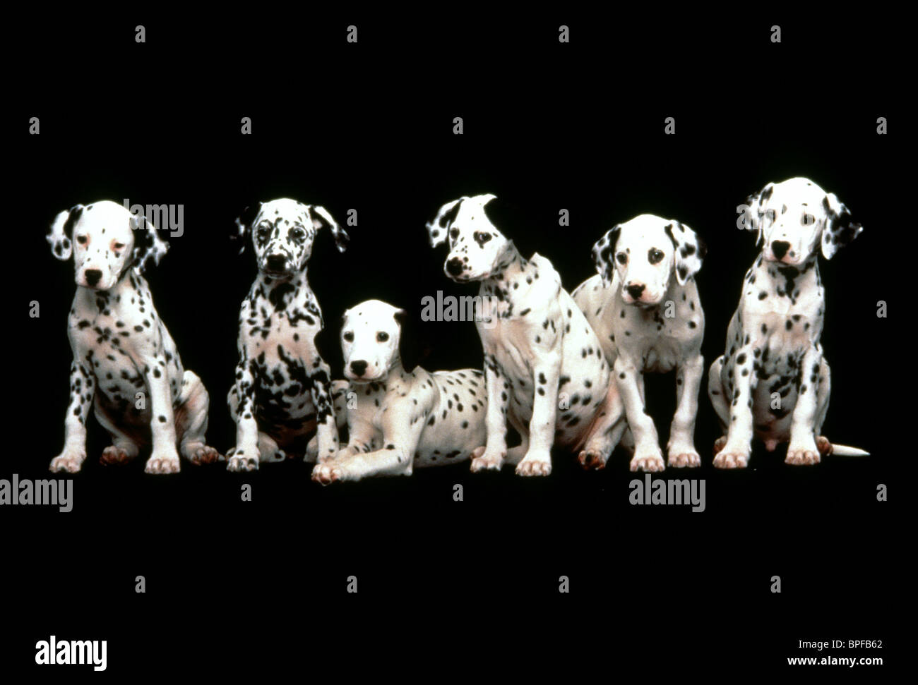 Dalmatian Puppies 101 Dalmatians 1996 Stock Photo