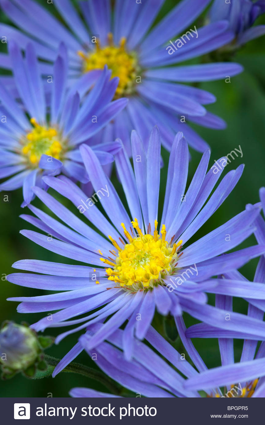 Aster Rudolf Geothe Late Summer Autumn Fall Flower