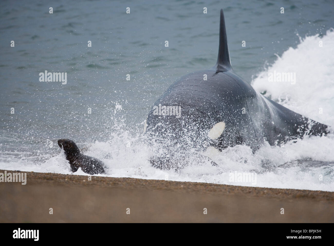 orca or killer whale (Orcinus orca) attacking southern sea ...