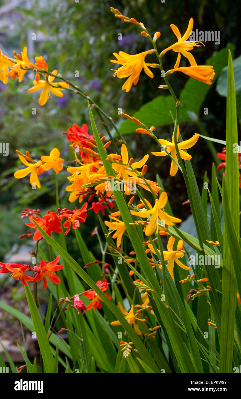 Crocosmia plants commonly known as montbretia growing together