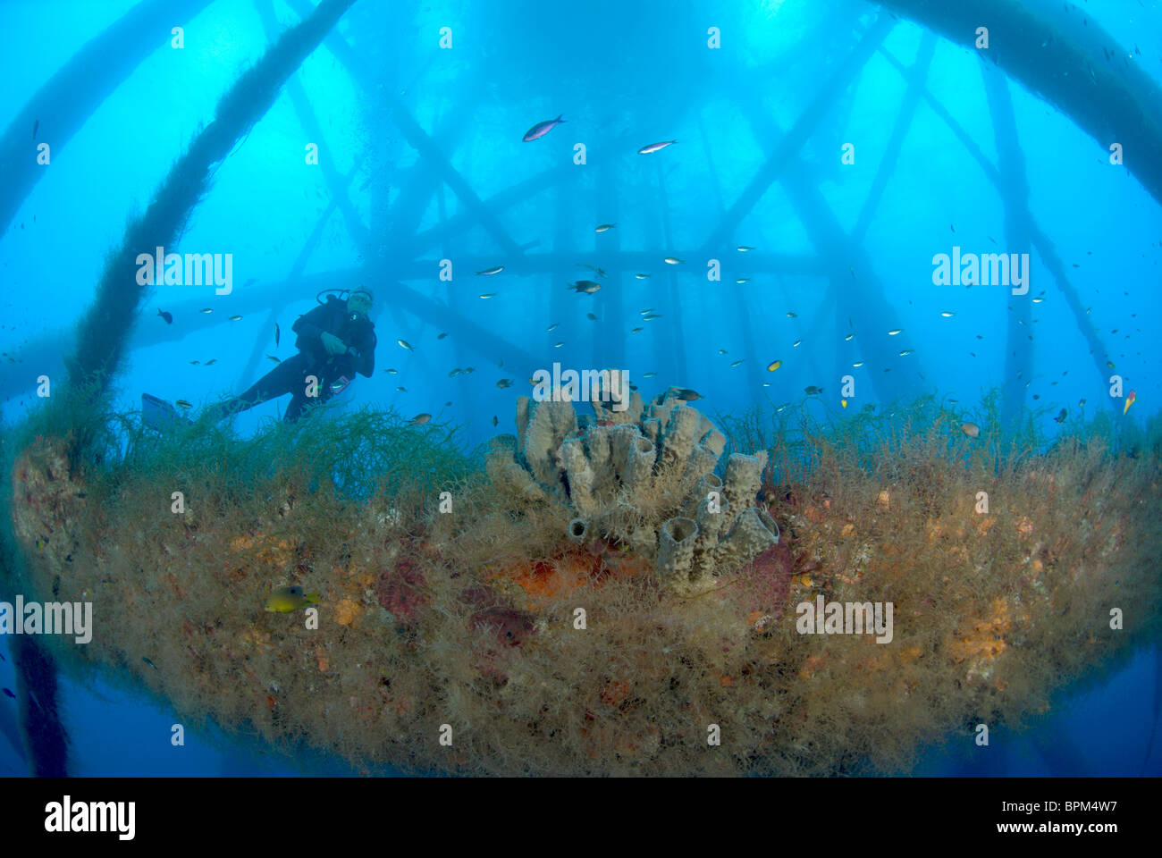 Delicieux Marine Life On HI 389 Rig With Diver, Near East Flower Garden Bank, Gulf Of  Mexico
