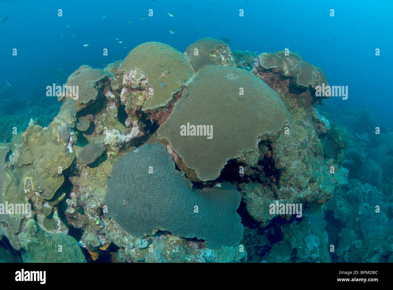 Brain Coral Head At East Flower Garden Bank Off Texas In Gulf Of Stock Photo Royalty Free Image