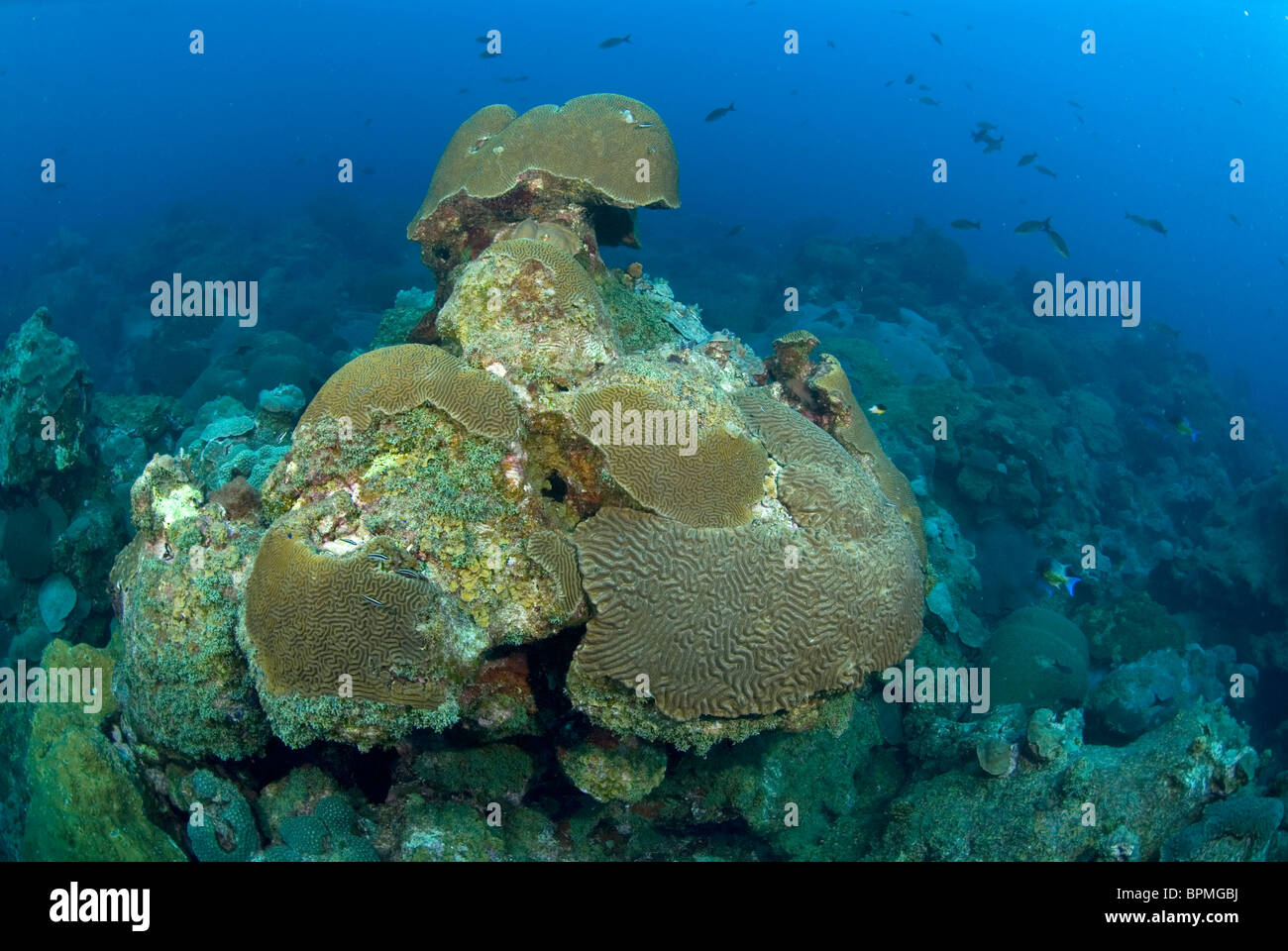Exceptionnel Coral Reef Formation At East Flower Garden Bank, Off Texas Coast, Gulf Of  Mexico