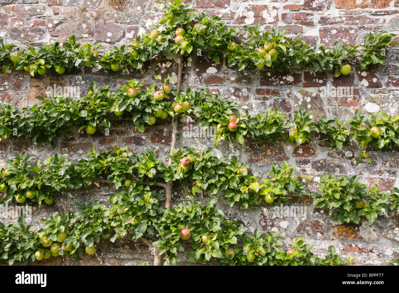 Apple Tree Trained To Grow As An Espalier Tree Against A Garden Wall.