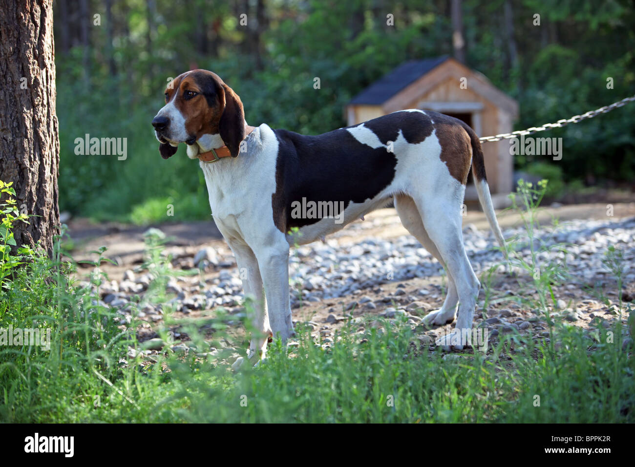 hound dog near kennel on a chain used to hunt raccoons and bear purebred