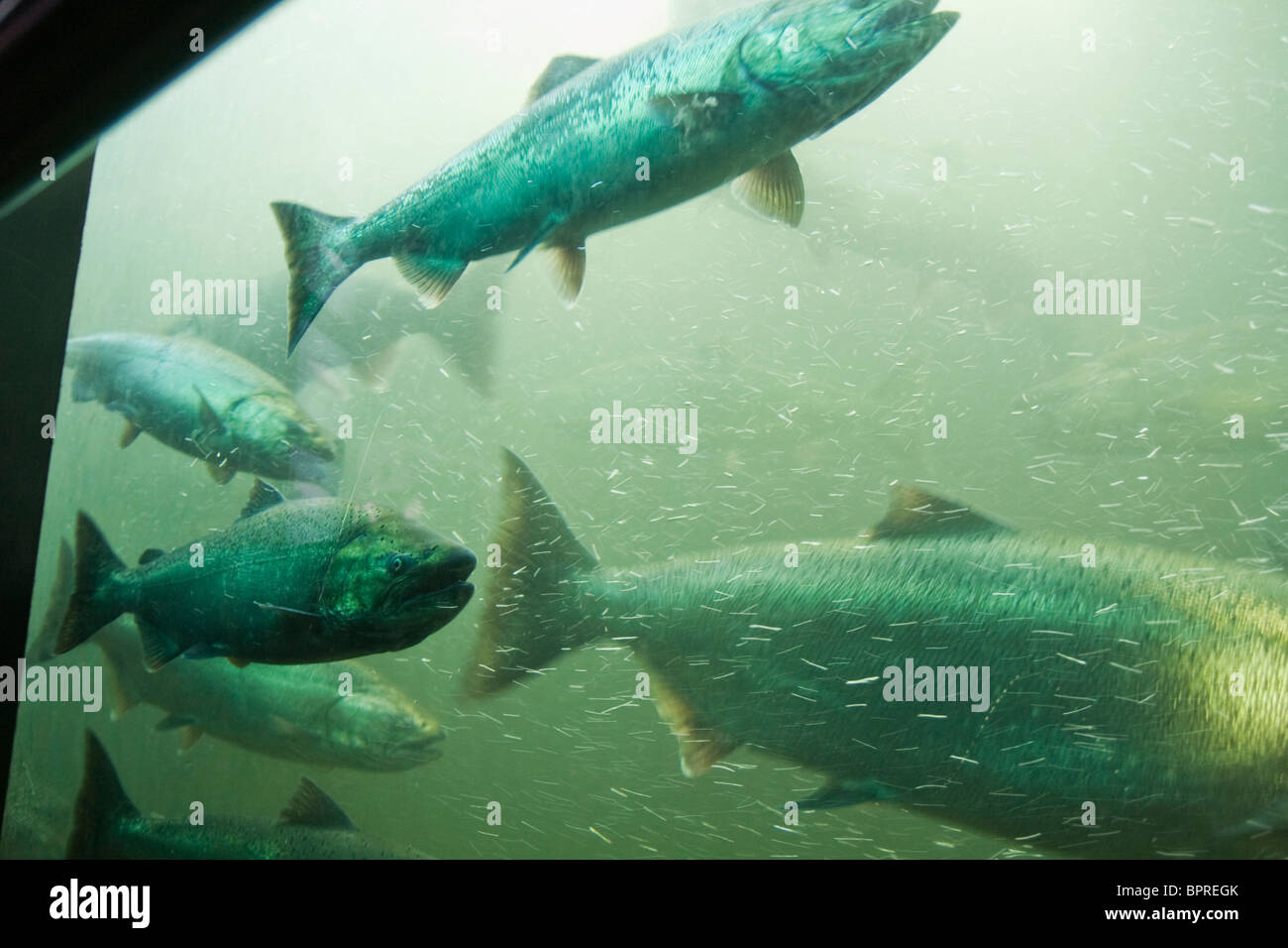 Chinook salmon in the fish ladder at the ballard for Ballard locks fish ladder