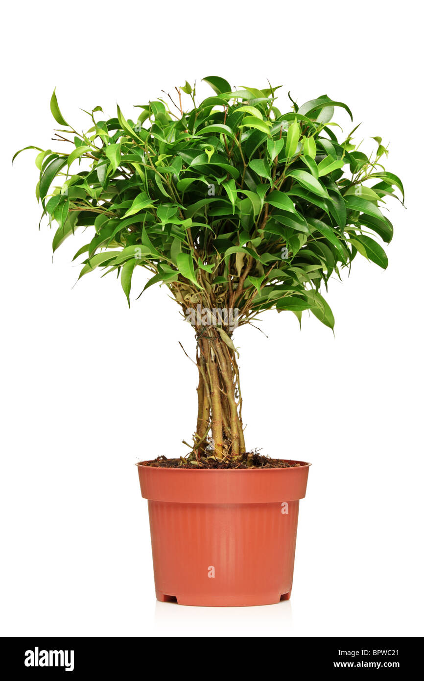 a ficus benjamin ficus benjamina natasja in a brown pot stock photo royalty free image. Black Bedroom Furniture Sets. Home Design Ideas