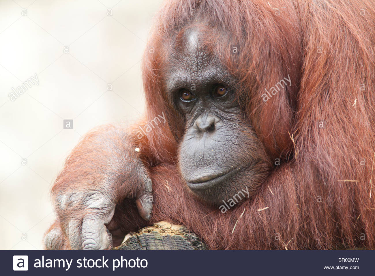 Bornean Orangutan  Lowry Park Orangutan M W