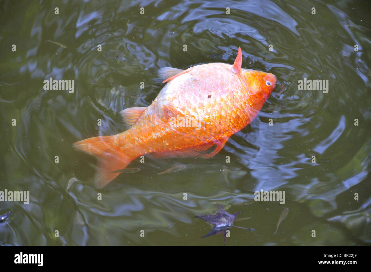 Dead Fish In Pond Stock Photo Royalty Free Image 31393441 Alamy