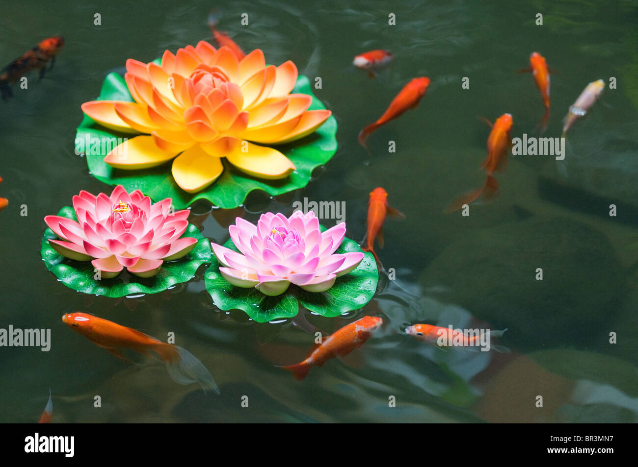 Gold fish swim with plastic lotus flowers in market near for Where to buy koi fish near me
