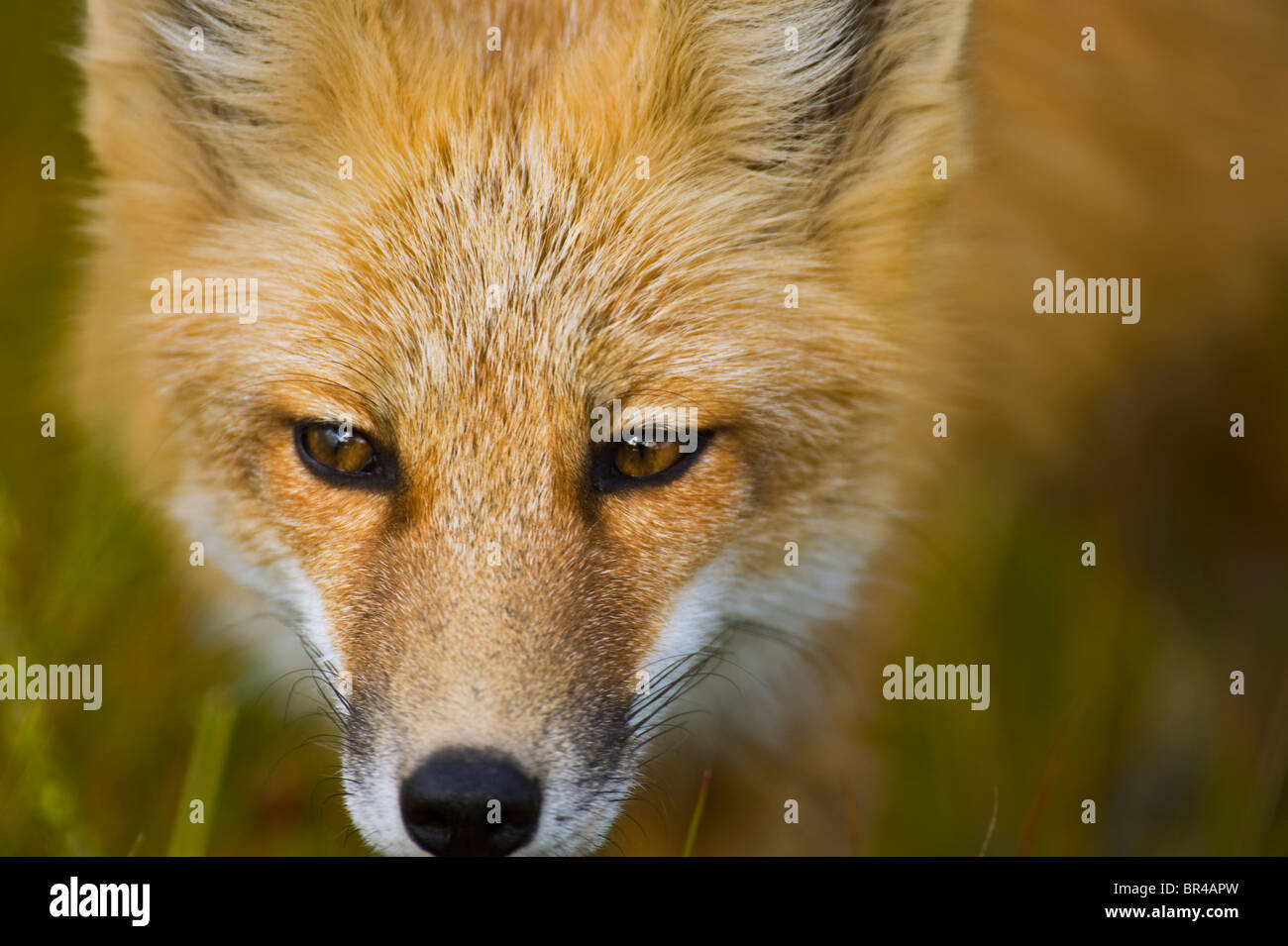 A red fox face close up Stock Photo, Royalty Free Image ...