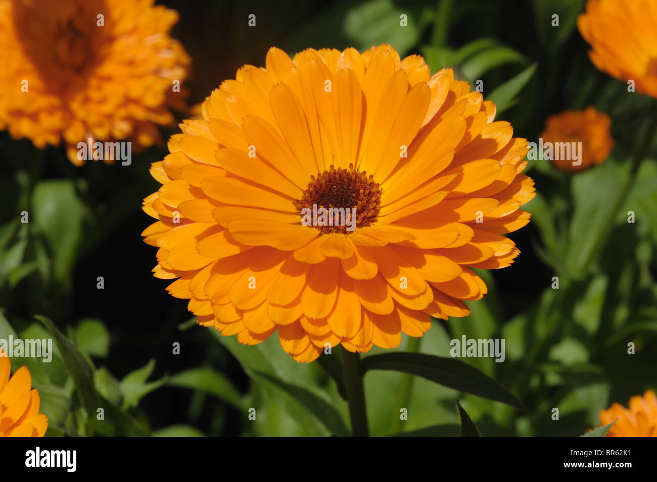 common marigold calendula officinalis orange flower a garden stock photo royalty free image. Black Bedroom Furniture Sets. Home Design Ideas