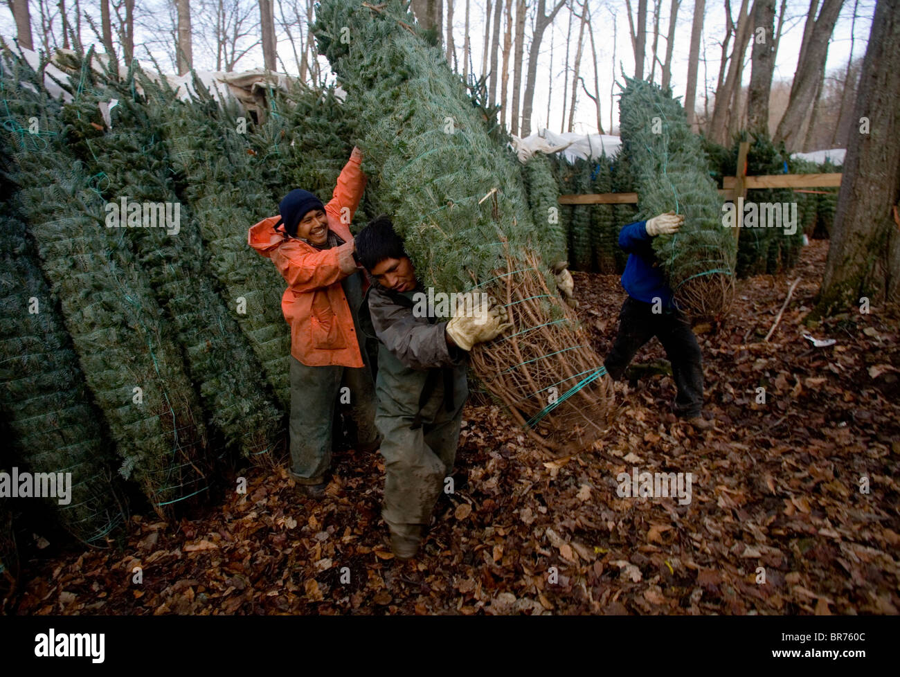 stock photo workers loading trees at a christmas tree farm in zionville north carolina - Christmas Tree Farms In North Carolina