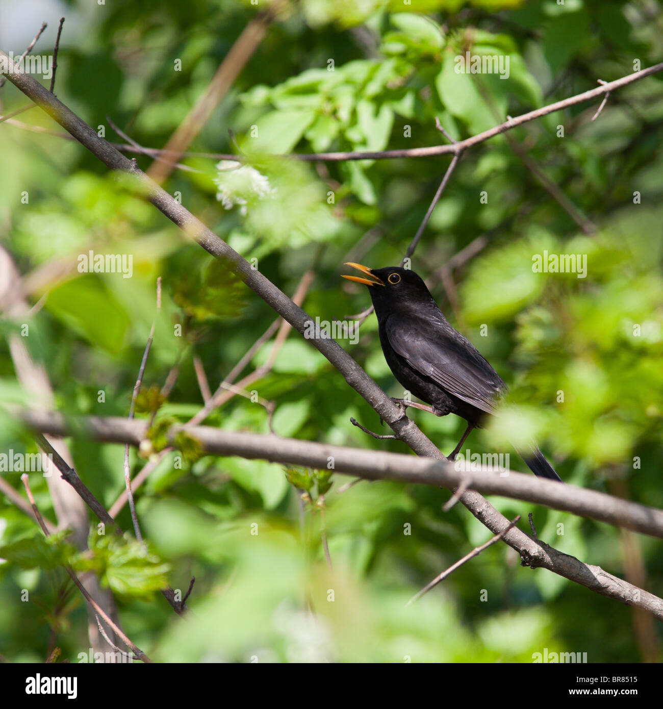 The Male Of A Blackbird Sings A Spring Song. A Voice Of A Bird Pictures
