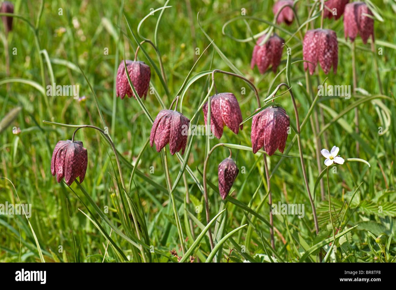 Sneaks Head Fritillary Fritillaria meleagris flowering plants