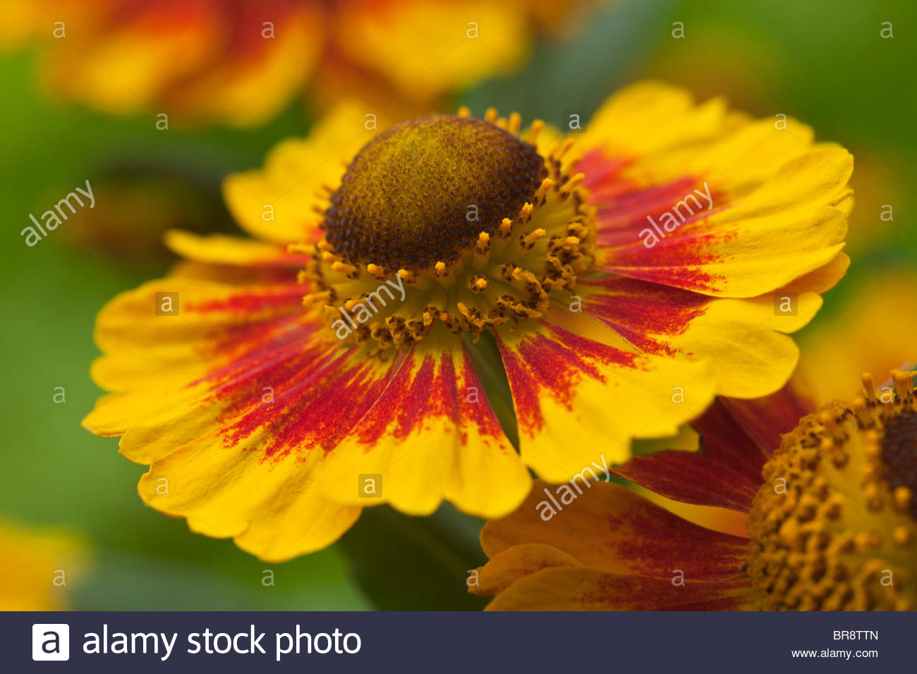Common Sneezeweed Helenium Autumnale Summer Flower Perennial July