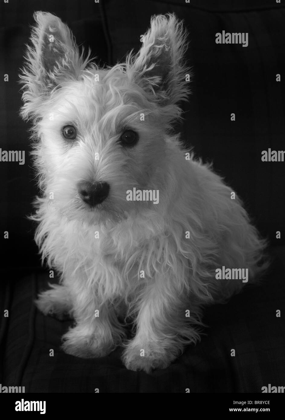 Small white West Highland Terrier, (Westie), puppy dog ...