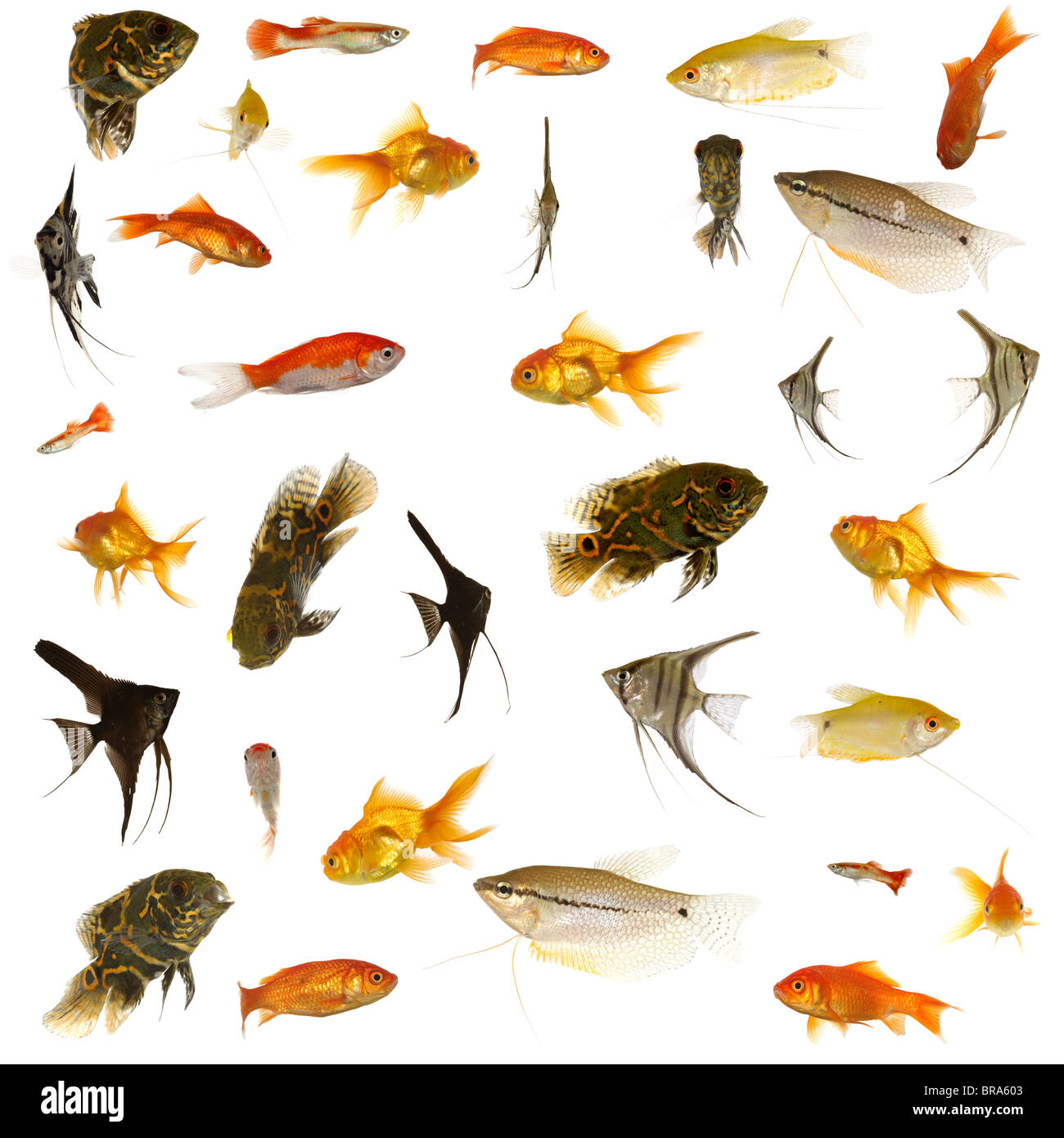 Group of fish many different aquarium fish isolated on for White fish types