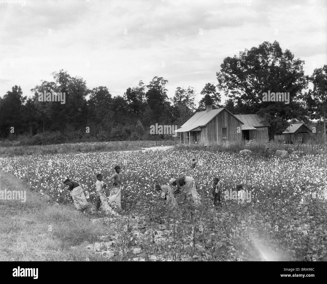 1930s African American Family On Tenant Farm Picking