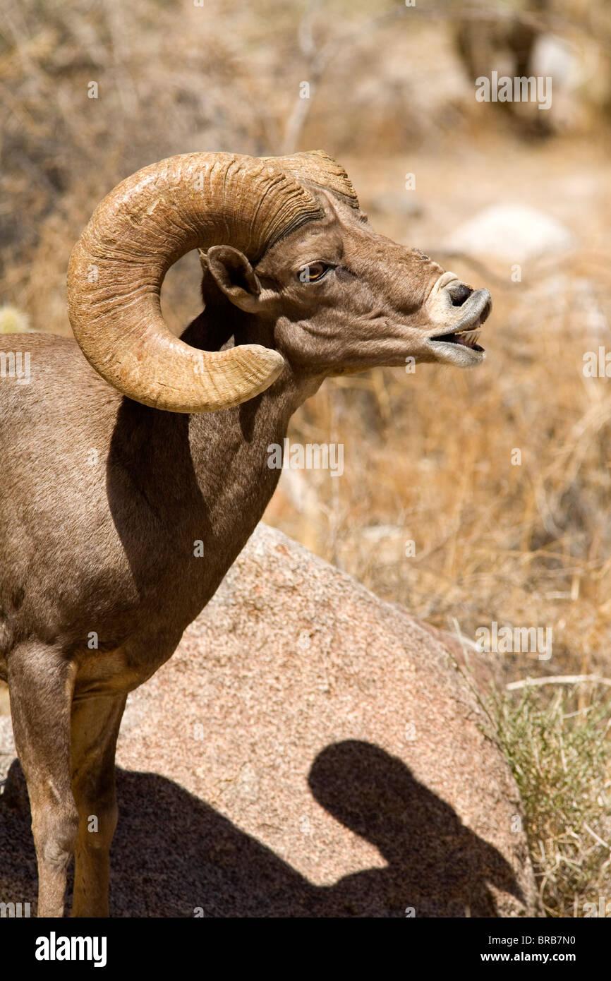 peninsular bighorn sheep ram ovis canadensis cremnobates