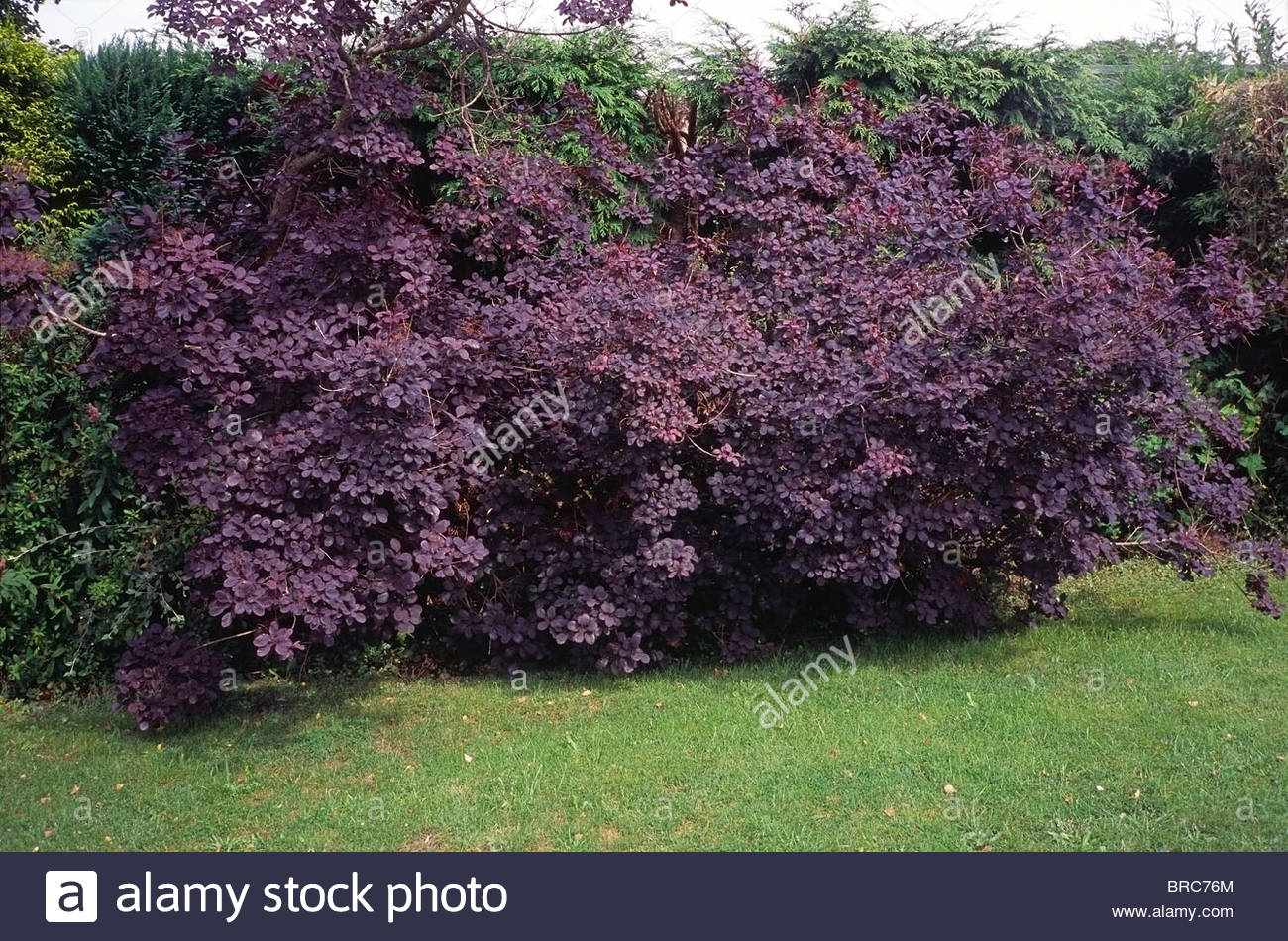 Cotinus coggygria 'Royal Purple' otherwise Known as the ...