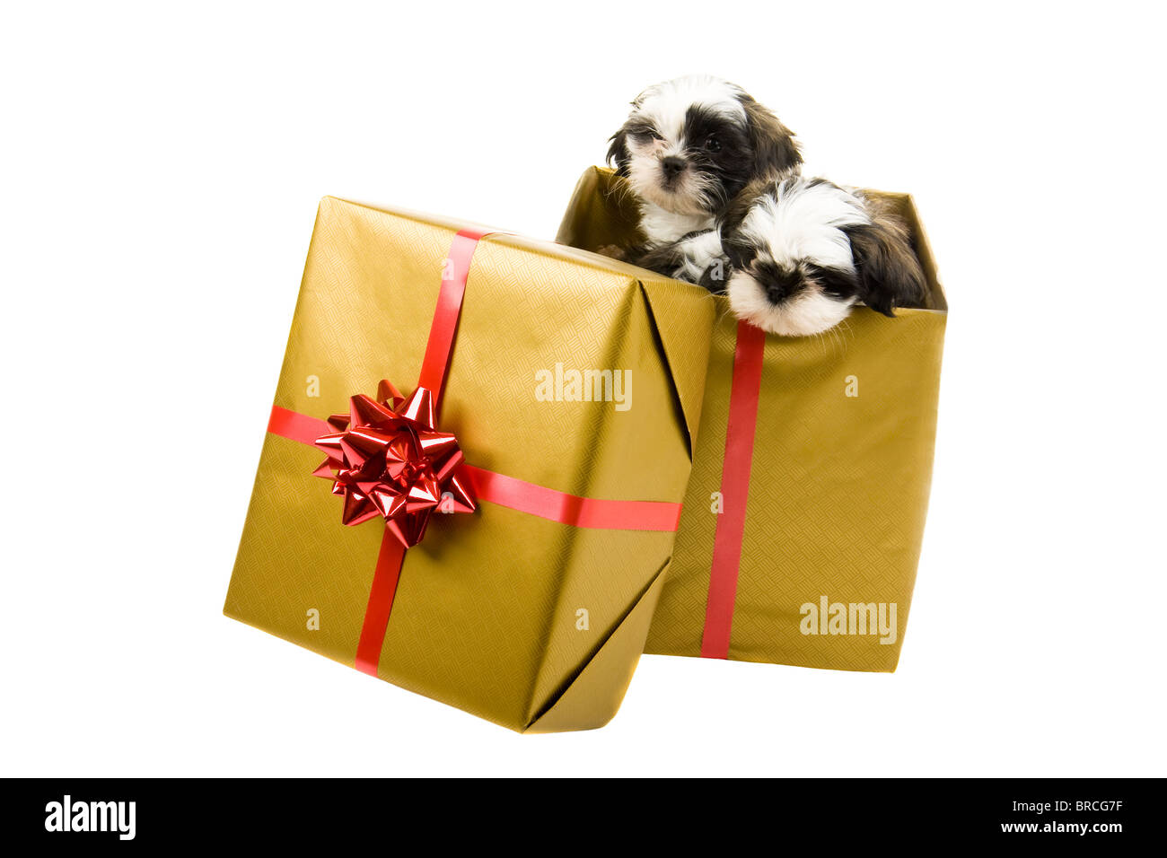 Good Ribbon Bow Adorable Dog - two-adorable-shih-tzu-puppies-are-looking-out-of-a-box-wrapped-as-BRCG7F  Graphic_216745  .jpg