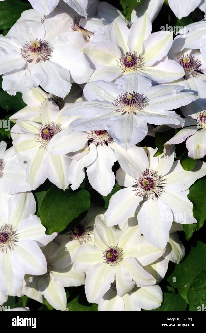 Clematis pure white spring flowering clematis flowers bloom blossom clematis pure white spring flowering clematis flowers bloom blossom group 2 mightylinksfo Gallery