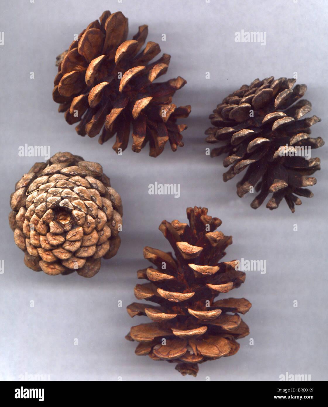 Pine Cones - Pine Tree Seeds Stock Photo, Royalty Free ...