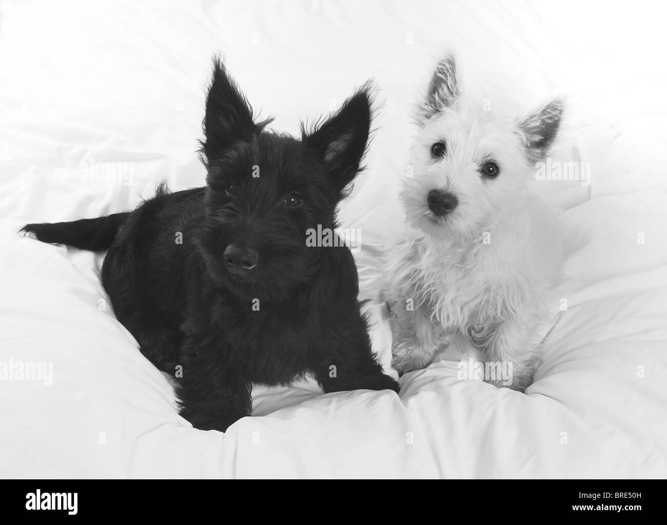 West Highland Terrier Puppies Black | www.imgkid.com - The ...