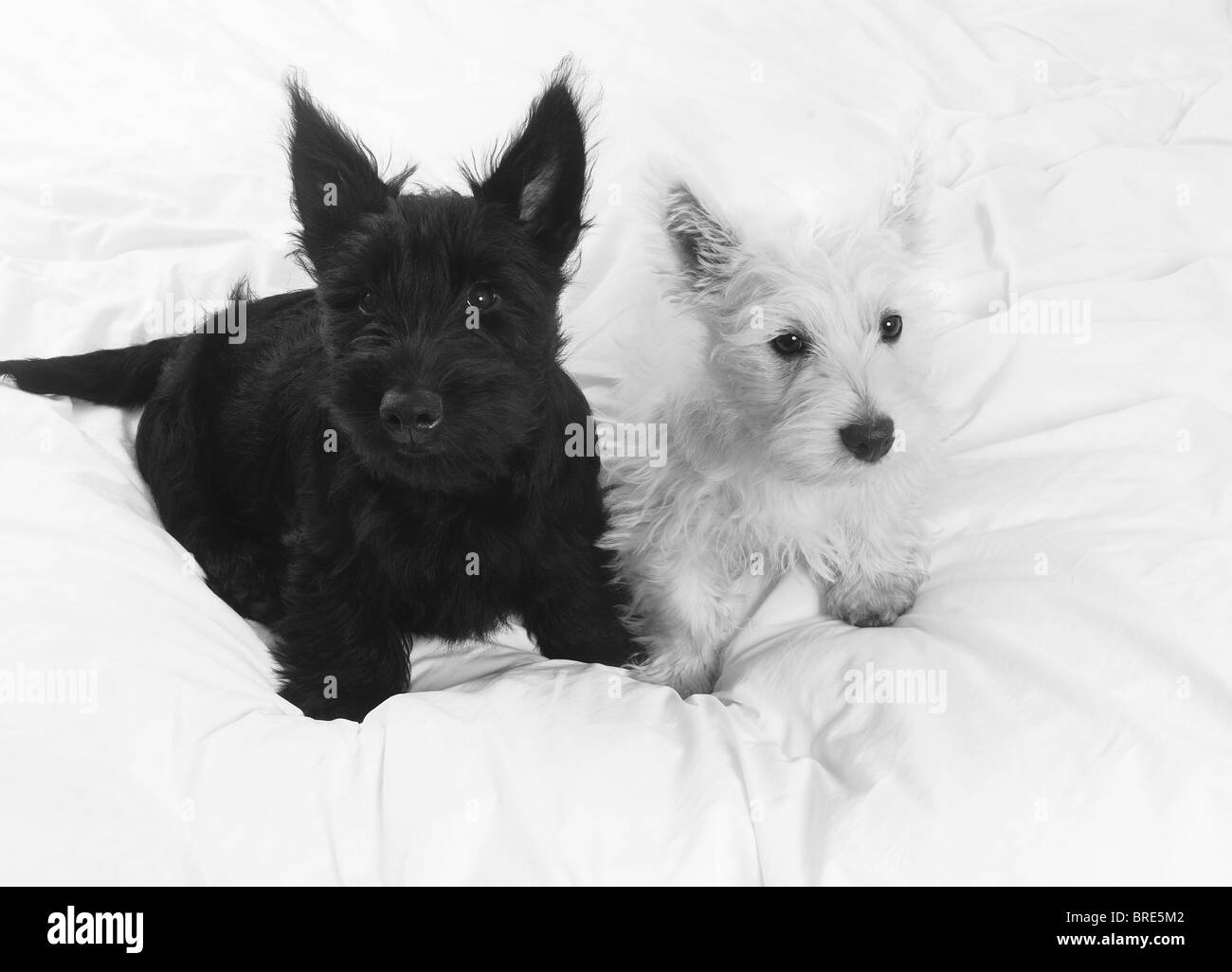 A small White West Highland Treeier puppy dog and a small ...