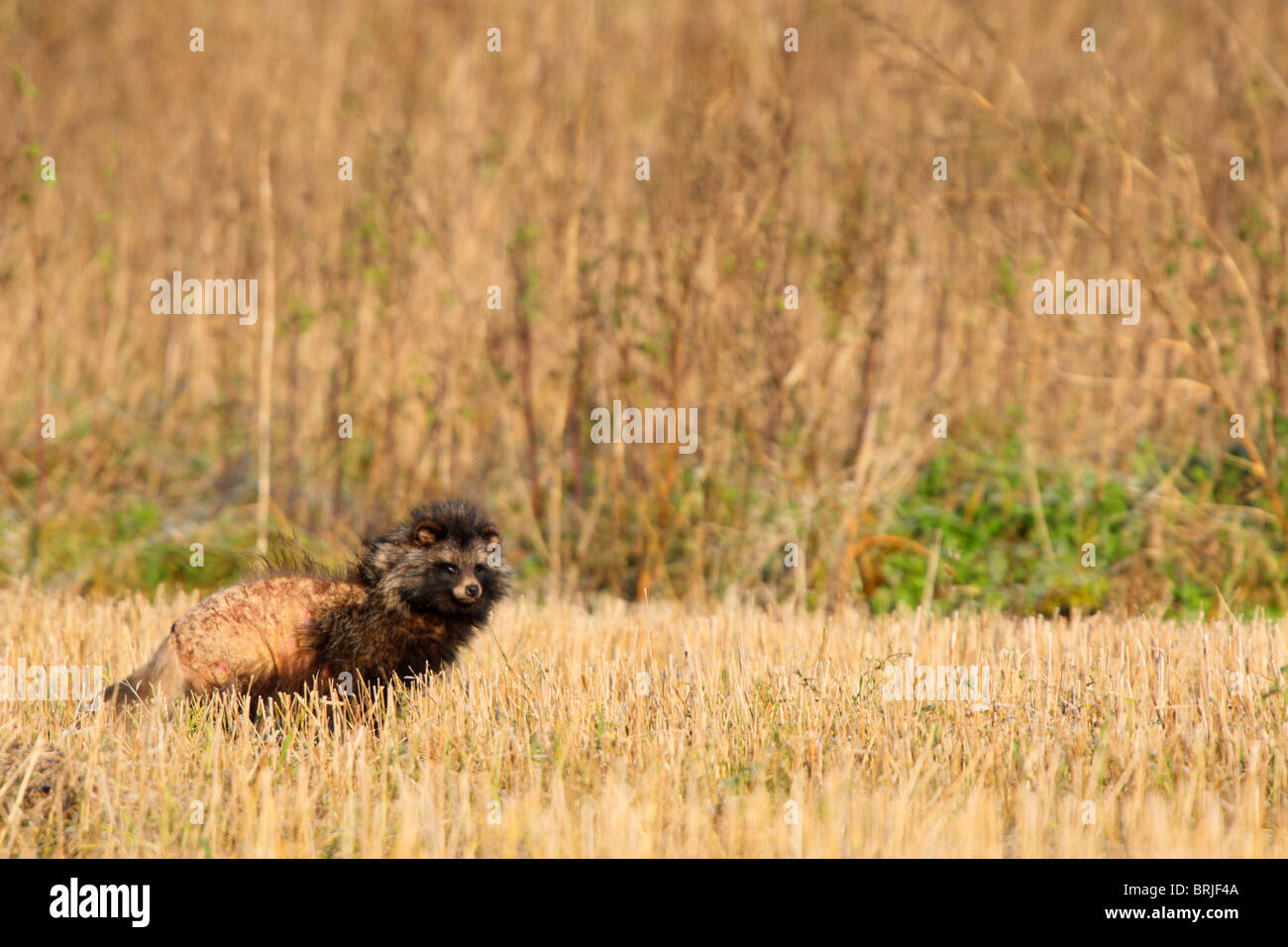 Raccoon dog (Nyctereutes procyonoides) affected by mange ... Raccoon With Mange
