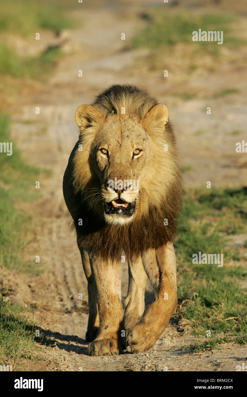 a male lion walking towards the camera on a sandy path