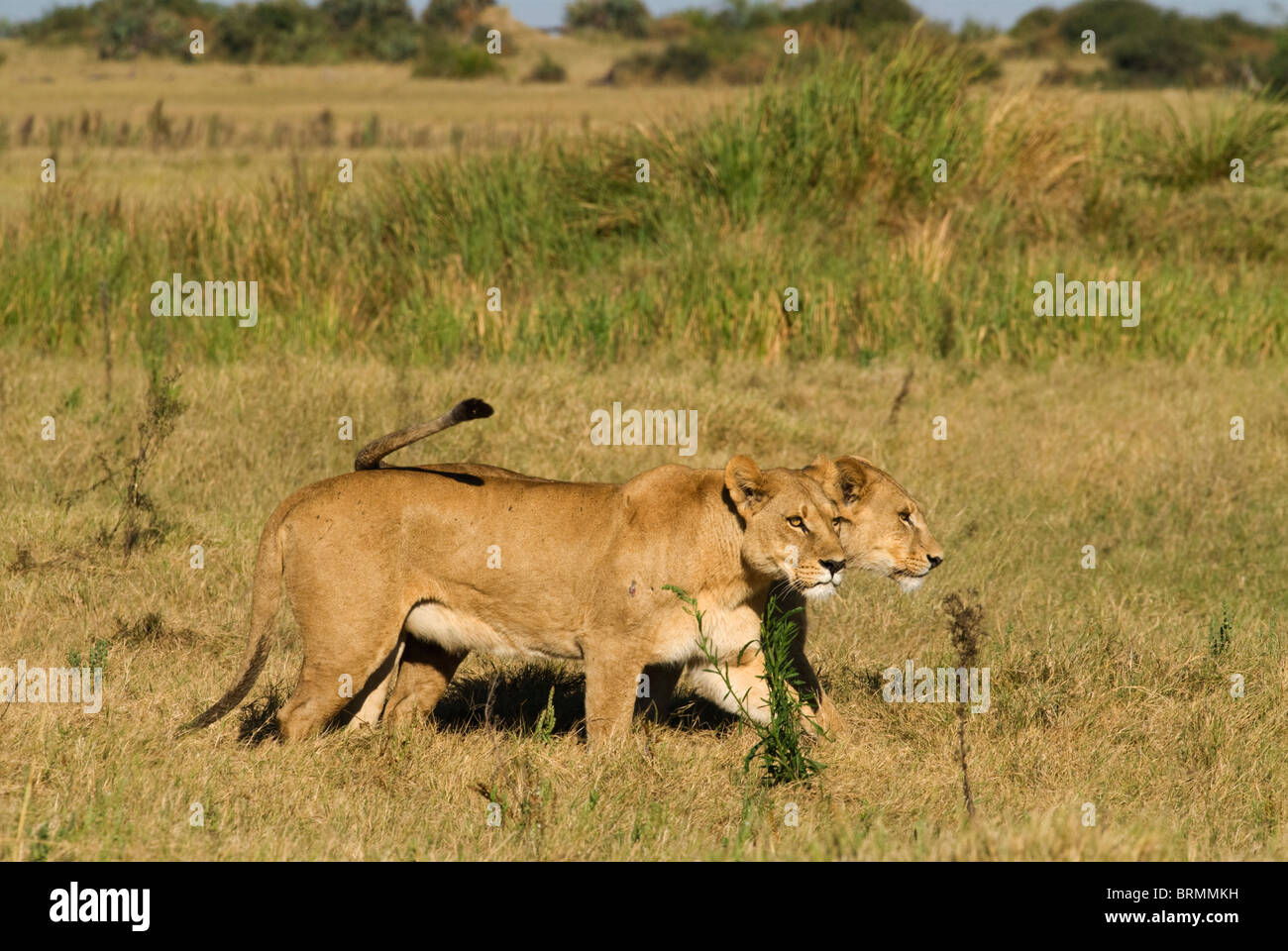 lionesses-walking-together-in-grassland-