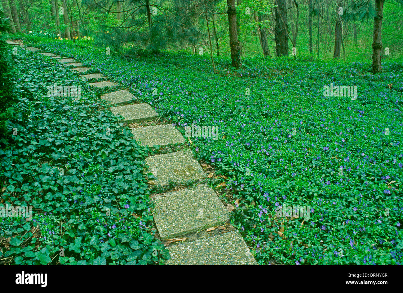 pathway through garden with a carpet of green vinca minor or stock, Natural flower