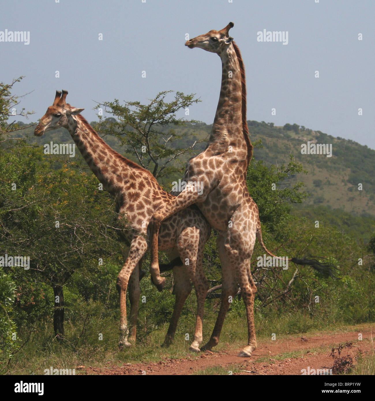 male giraffe mounting a female giraffe stock photo royalty free image