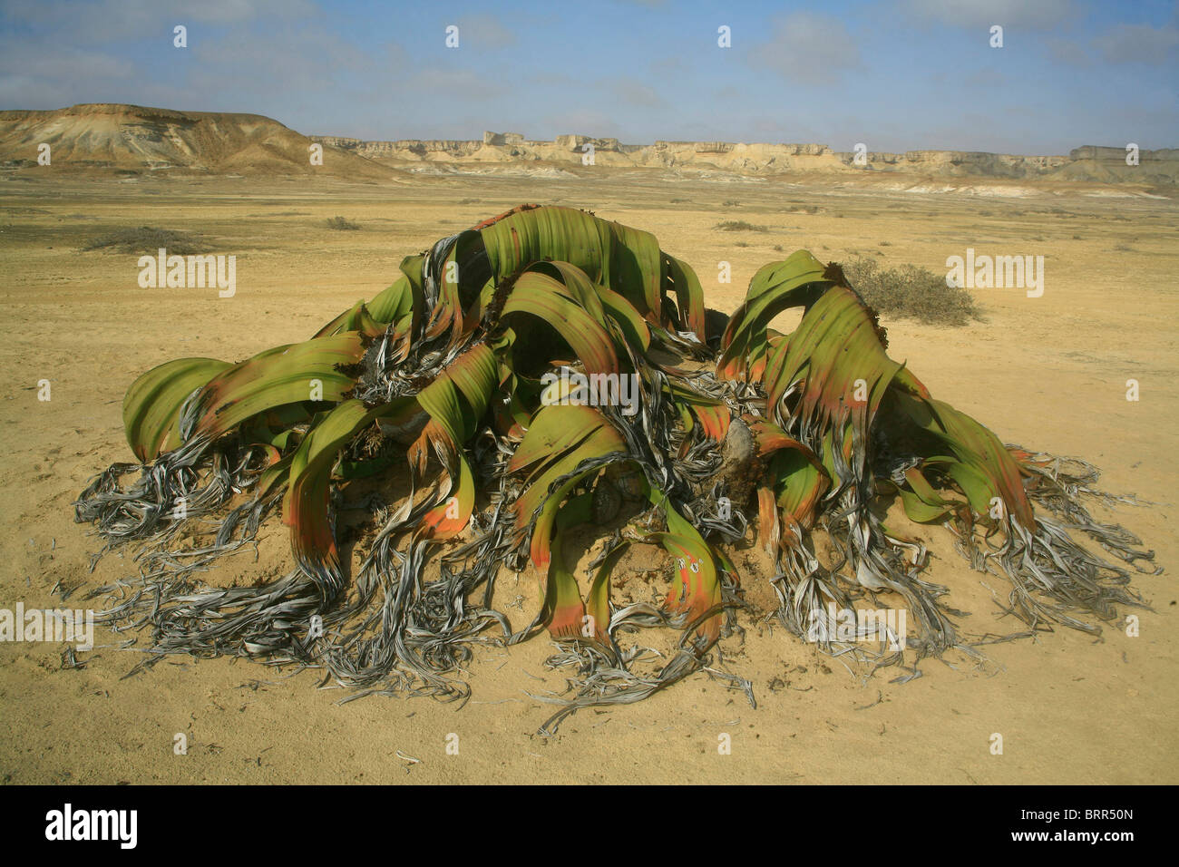 Welwitschia mirabilis plant one of the world longest for Plants that live long