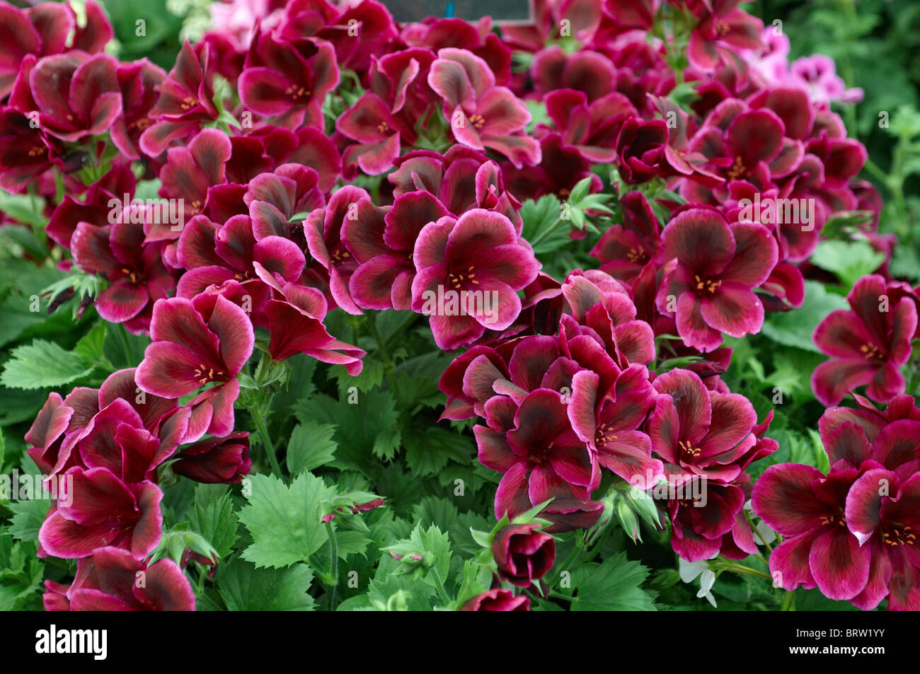 Pelargonium Flowers Close Up In An English Country Garden Stock