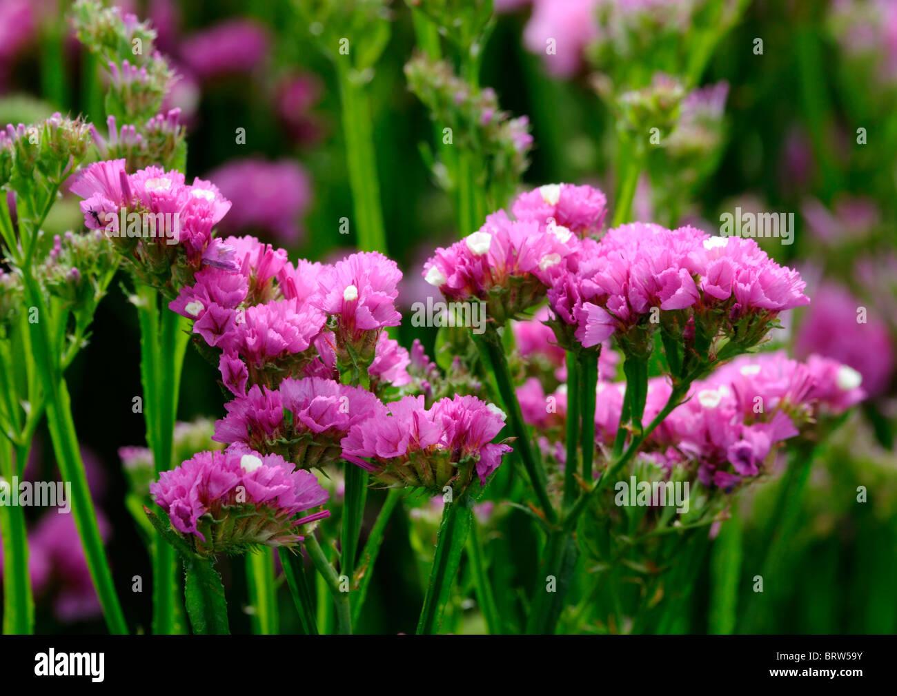 Statice sinuata Sunburst rose Limonium pink flowers bloom blossom Stock