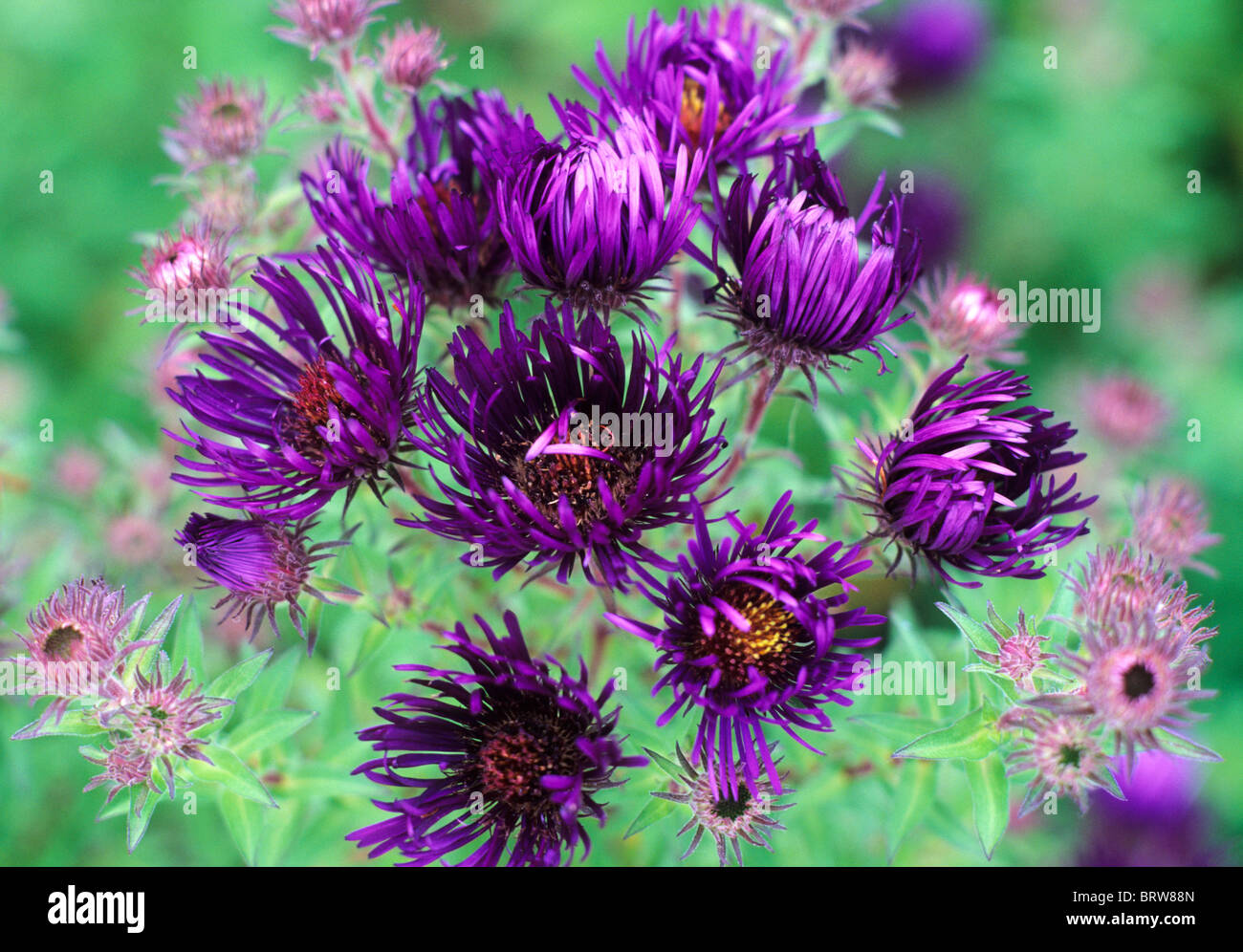 aster novaeangliae 'marina wolkonsky' asters purple flower, Beautiful flower