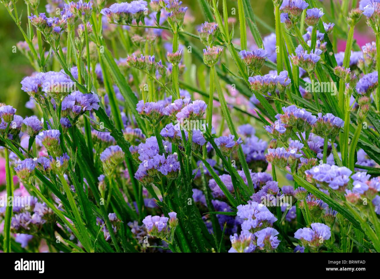 Statice sinuata Sunburst pale blue Limonium flowers bloom blossom Stock