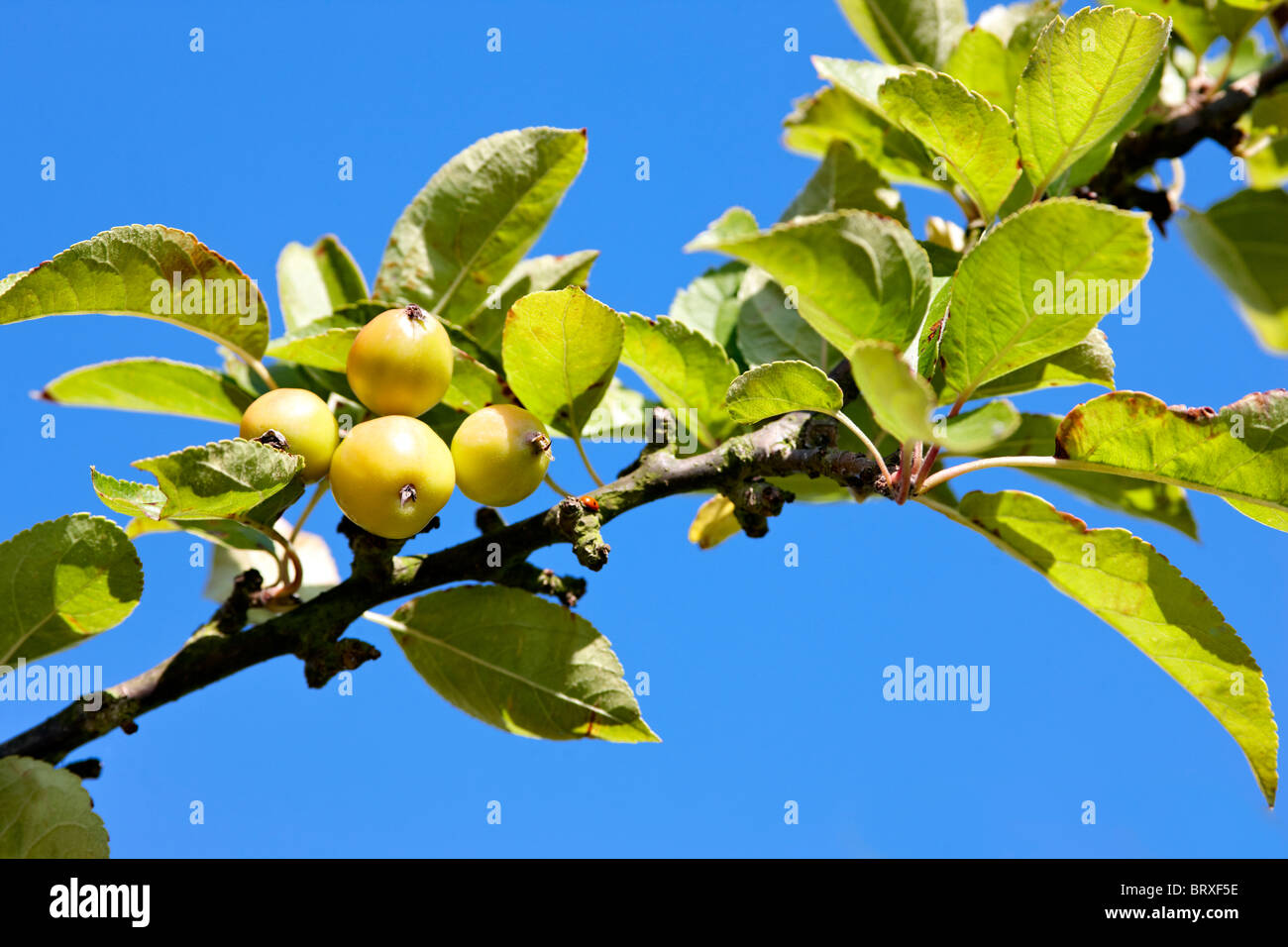 crabapples malus 39 golden hornet 39 stock photo royalty. Black Bedroom Furniture Sets. Home Design Ideas