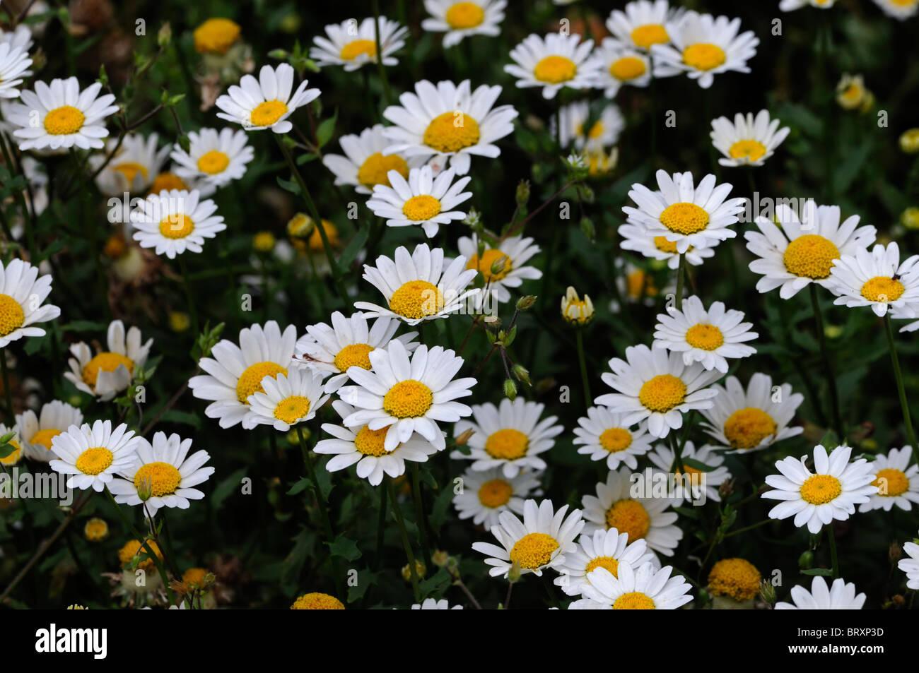 Chrysanthemum paludosum snowland daisy dwarf daisy type hardy chrysanthemum paludosum snowland daisy dwarf daisy type hardy annual tender perennial mum chrysanth white flower stock dhlflorist Images