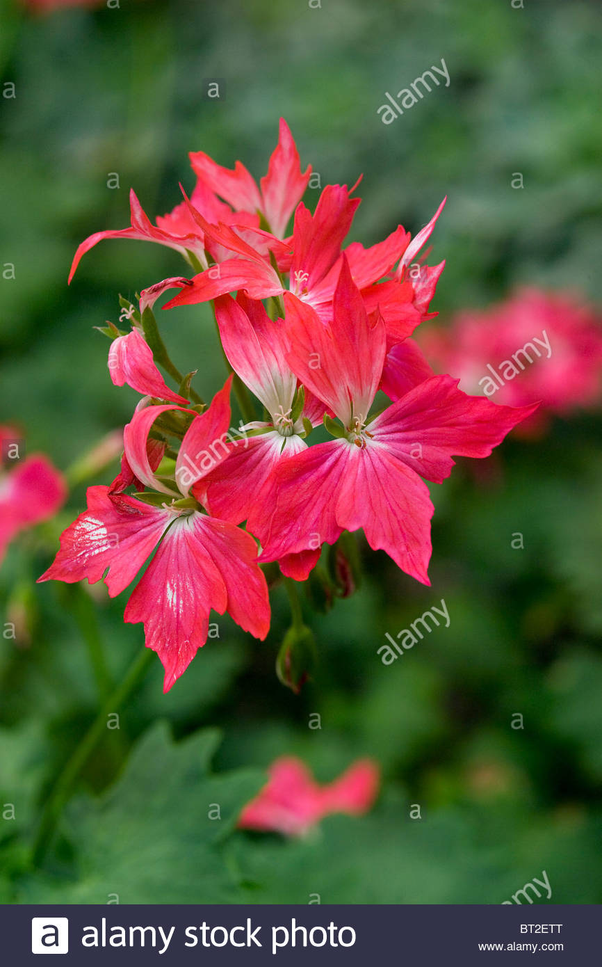 pelargonium x hortorum fireworks cherry bicolor fish