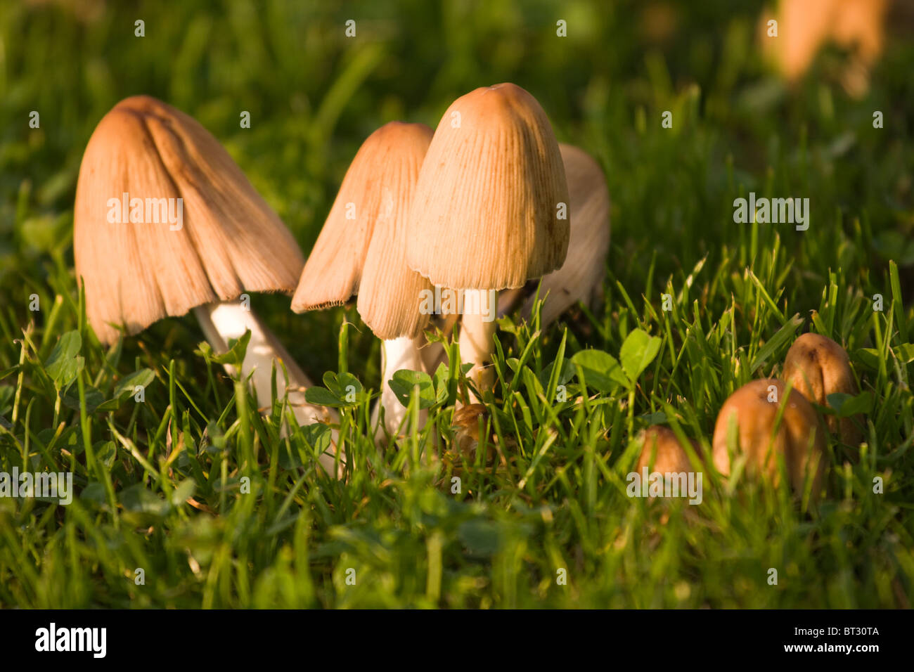 backyard mushrooms in the grass stock photo royalty free image